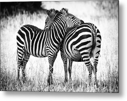 3scape Photos Metal Print featuring the photograph Zebra Love by Adam Romanowicz