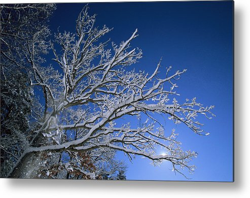 Outdoors Metal Print featuring the photograph Fresh Snowfall Blankets Tree Branches by Tim Laman