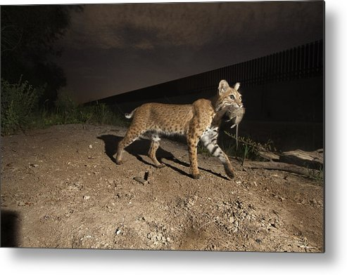 Outdoors Metal Print featuring the photograph A Bobcat Crosses A Rio Grande Border by Joel Sartore