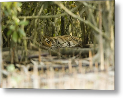 Day Metal Print featuring the photograph A Female Tiger Rests In The Undergrowth by Tim Laman