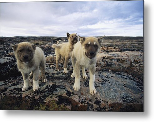 North America Metal Print featuring the photograph A Trio Of Growling Husky Puppies by Paul Nicklen
