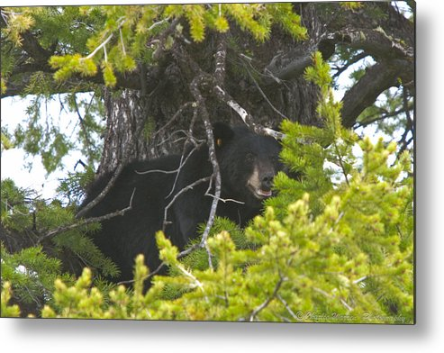 Brown Bear Metal Print featuring the photograph Bear In A Tree by Charles Warren