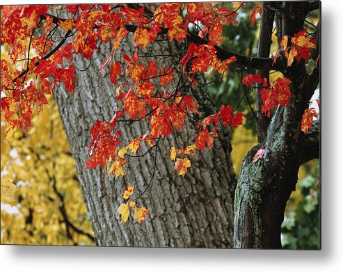 Outdoors Metal Print featuring the photograph Bright Red Maple Leaves Against An Oak by Tim Laman