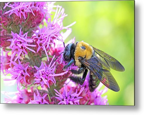 Becky Metal Print featuring the photograph Busy As A Bee by Becky Lodes