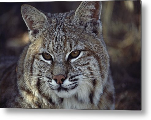 North America Metal Print featuring the photograph Close-up Of A Bobcat by Dr. Maurice G. Hornocker