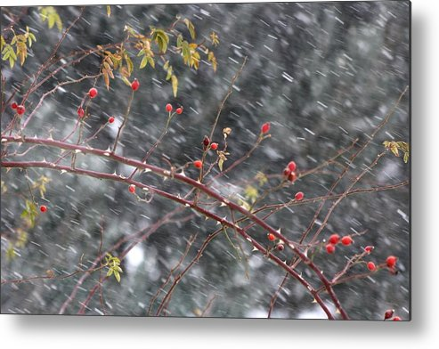 Fruits White Grey Red Leaves Berries Pyrenees France Winter Snow France Mountain Metal Print featuring the photograph First Snow... by Frederic Vigne