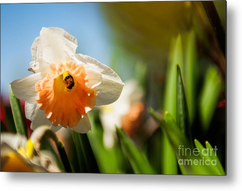 Daffodils Photographs Metal Print featuring the photograph Golden Daffodils by Venura Herath