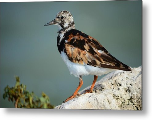 Ruddy Turnstone Metal Print featuring the photograph Ruddy Turnstone by Lynda Dawson-Youngclaus