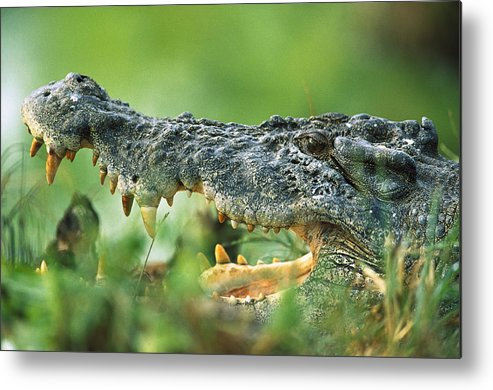 Mp Metal Print featuring the photograph Saltwater Crocodile Crocodylus Porosus by Cyril Ruoso