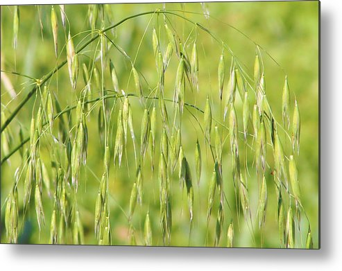 Oats Metal Print featuring the photograph Sunny Day At The Oat Field by Christine Till