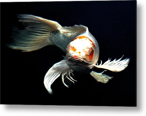 Koi Metal Print featuring the digital art What You Doin Up There by Don Mann