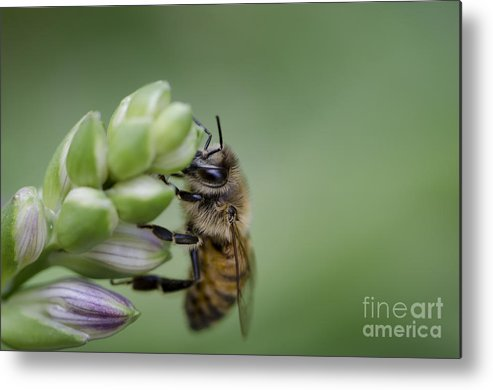 Bee Metal Print featuring the photograph Busy Bee by Andrea Silies