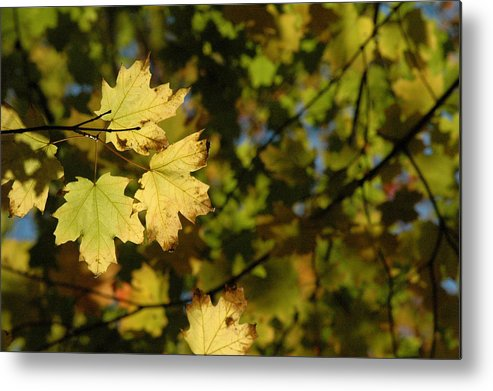 Yellow. Leaves Metal Print featuring the photograph Golden Morning by Trish Hale
