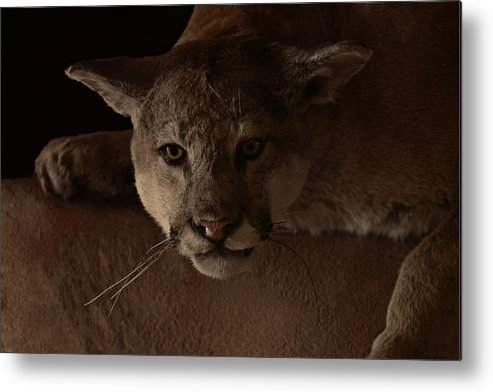 Cougar Metal Print featuring the photograph Mountain Lion A Large Graceful Cat by Christine Till