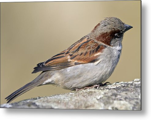 Outdoors Metal Print featuring the photograph Sparrow by Melanie Viola