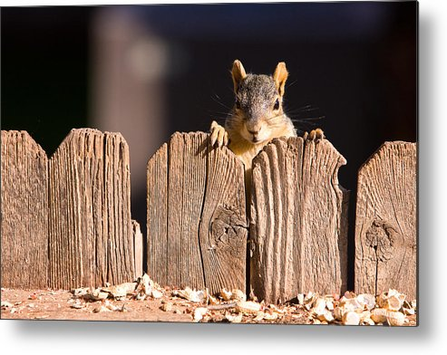 Squirrel Metal Print featuring the photograph Squirrel On The Fence by James BO Insogna