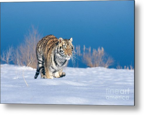 Animal Metal Print featuring the photograph Siberian Tiger by Alan Carey