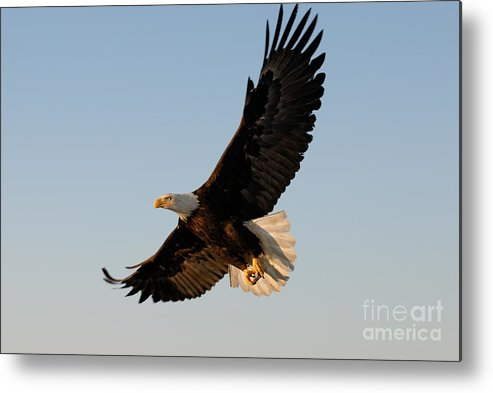 Animal Metal Print featuring the photograph Bald Eagle Flying With Fish In Its Talons by Stephen J Krasemann