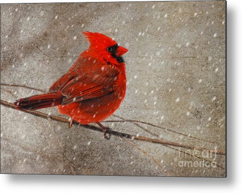 White Christmas Metal Print featuring the photograph Cardinal In Snow by Lois Bryan