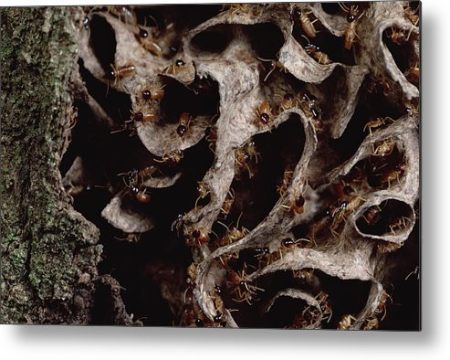 Feb0514 Metal Print featuring the photograph Nasute Termite Nest Amazonian Peru by Mark Moffett
