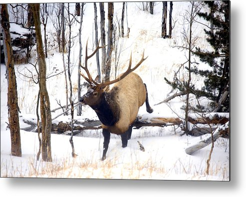 Elk Metal Print featuring the photograph On The Move by Mike Dawson