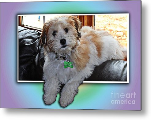 Yoshi Havanese Puppy Metal Print featuring the photograph Yoshi Havanese Puppy by Barbara Griffin