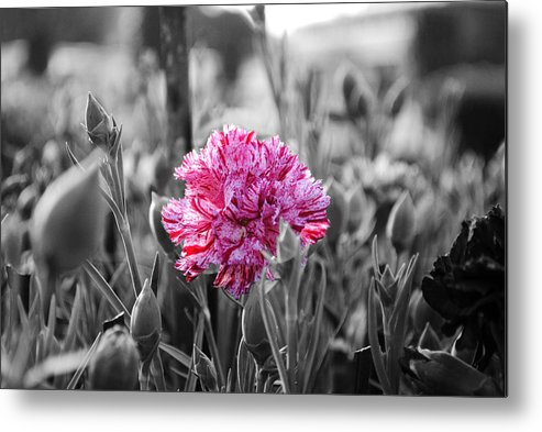 Pink Carnation Metal Print featuring the photograph Pink Carnation by Sumit Mehndiratta