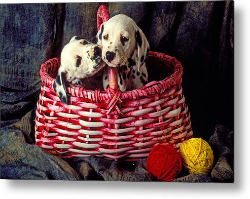 Two Dalmatian Metal Print featuring the photograph Two Dalmatian Puppies by Garry Gay