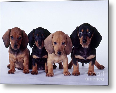 Fauna Metal Print featuring the photograph Dachshund Puppies by Carolyn McKeone and Photo Researchers