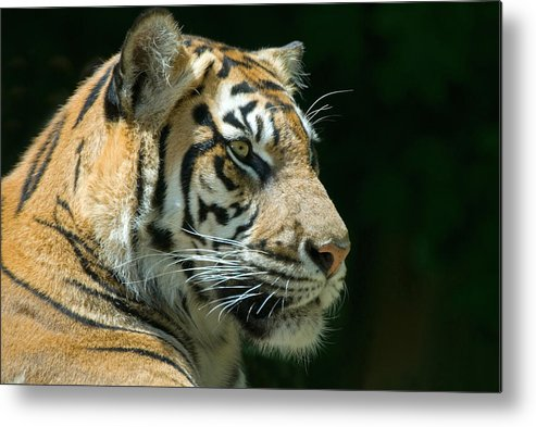 Animal Metal Print featuring the photograph Sumatran Tiger by Mary Lane