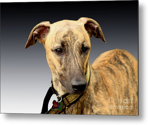 Brindle Metal Print featuring the photograph Jake by Linsey Williams