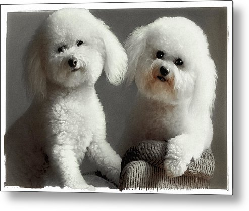 Bichon Frise Metal Print featuring the photograph All Smiles by Lynn Andrews