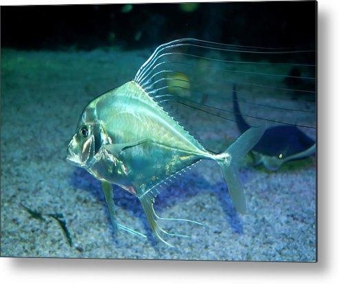 Aqua Metal Print featuring the photograph Silver Fish by Svetlana Sewell