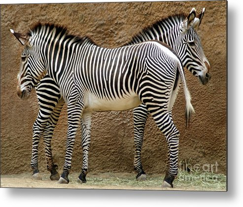 Zebra Metal Print featuring the photograph Got Your Back by Dan Holm