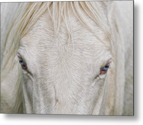 Horse Metal Print featuring the photograph Behind Blue Eyes by Heather Rivet