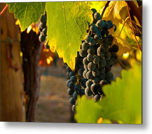 Grape Metal Print featuring the photograph Fruit Of The Vine by Bill Gallagher