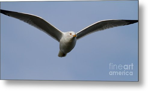 Long Metal Print featuring the photograph Gull In Flight . 7d12082 by Wingsdomain Art and Photography