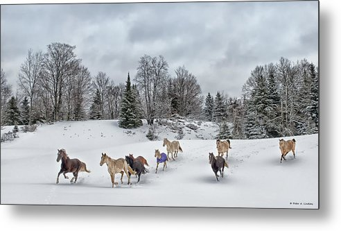 Rocky Mountain Horse Metal Print featuring the photograph Winter Run by Peter Lindsay