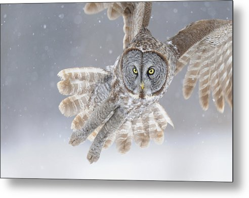 Great Metal Print featuring the photograph Great Grey Owl In Snowstorm by Scott Linstead
