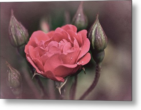 Rose Metal Print featuring the photograph Vintage Rose No. 4 by Richard Cummings
