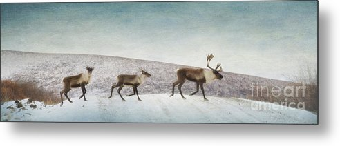 Animal Metal Print featuring the photograph Three Caribous by Priska Wettstein