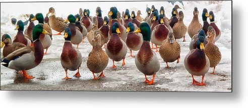 Ducks Metal Print featuring the photograph Duckorama by Bob Orsillo