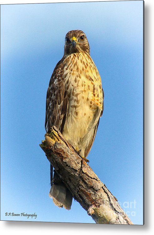Red-shouldered Hawk Metal Print featuring the photograph Stately Red-shouldered Hawk by Barbara Bowen
