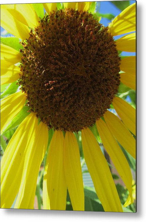 Sunflower Metal Print featuring the photograph Sunflower-two by Todd Sherlock