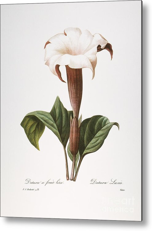 1833 Metal Print featuring the photograph Redoute: Datura, 1833 by Granger