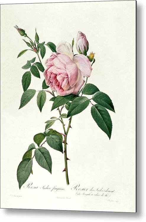 Rosa Metal Print featuring the drawing Rosa Chinensis And Rosa Gigantea by Joseph Pierre Redoute