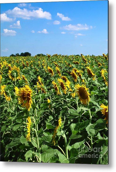 Sunflower Metal Print featuring the photograph Windblown Sunflowers by Robert Frederick
