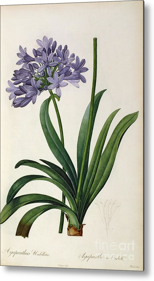 Agapanthus Metal Print featuring the painting Agapanthus Umbrellatus by Pierre Redoute