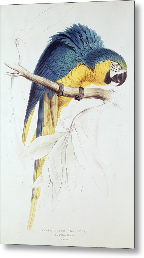 Parrot Metal Print featuring the painting Blue And Yellow Macaw by Edward Lear