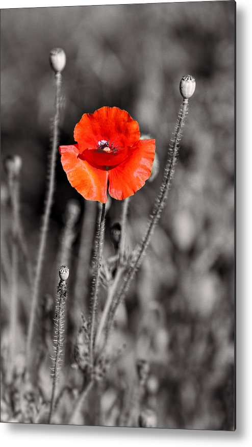 Plants Metal Print featuring the pyrography Texas Hot Poppy With Black And White by Linda Phelps